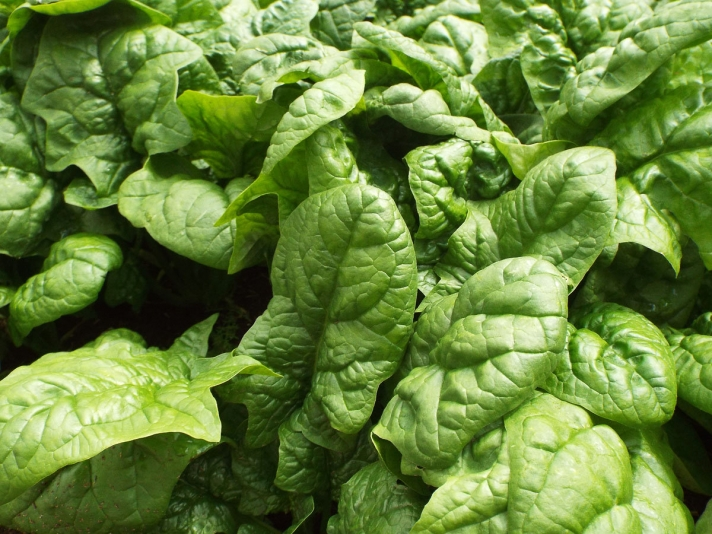 Garden Spinach for Fettuccine with Spinach Pesto